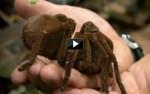 60 Encuentros letales  - Araña goliat come pájaros
