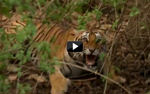 60 Encuentros letales  - Tigre de Bengala