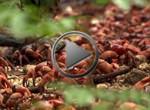 Grandes Migraciones - Cangrejos Rojos